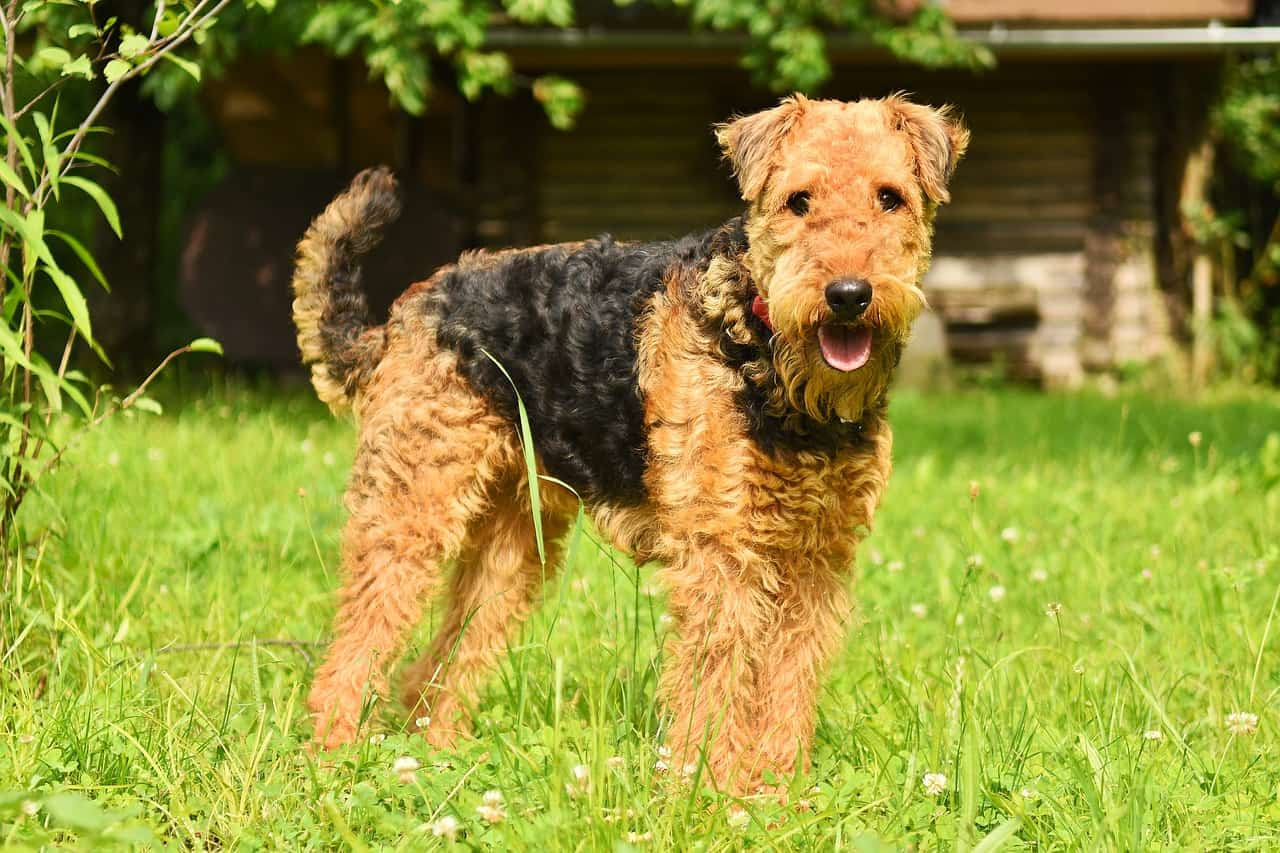 airedale terrier in grass