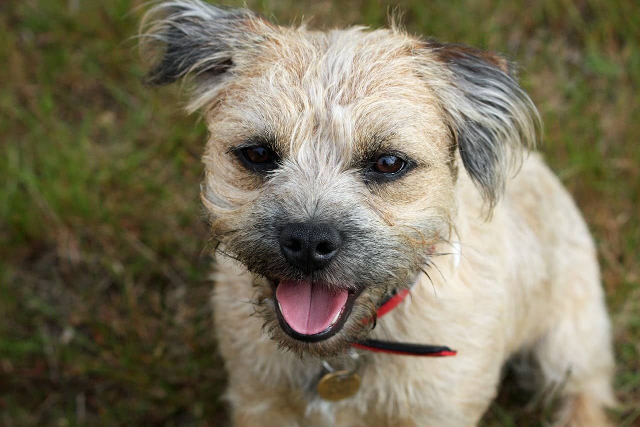 an excited tan and white border terrier