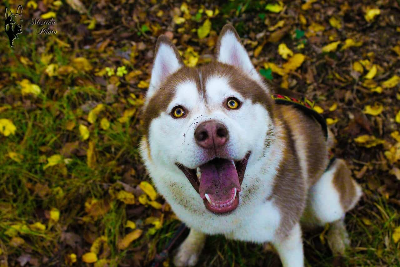 Best Shampoo For Huskies: Getting Your Husky To Look Great!