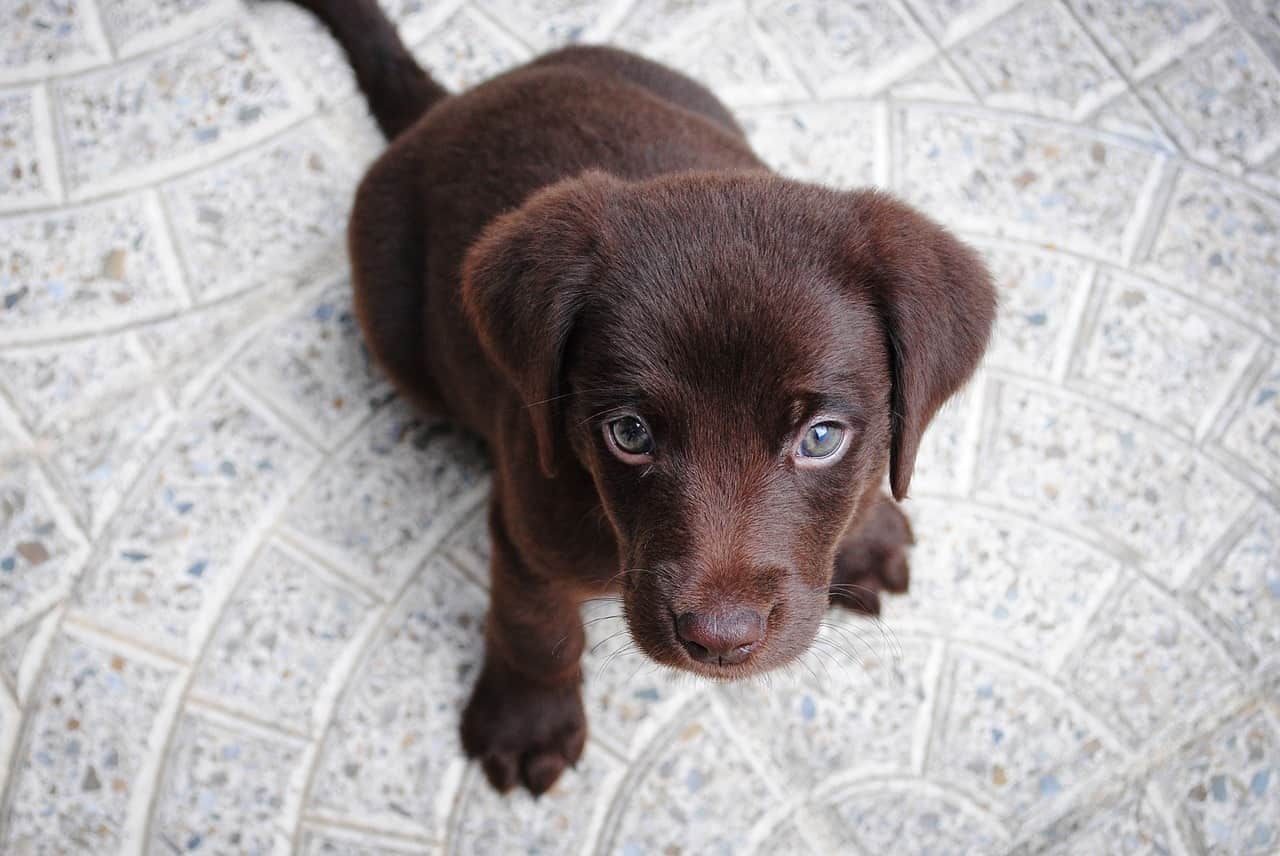 5 Best Puppy Food For Labs In 2020