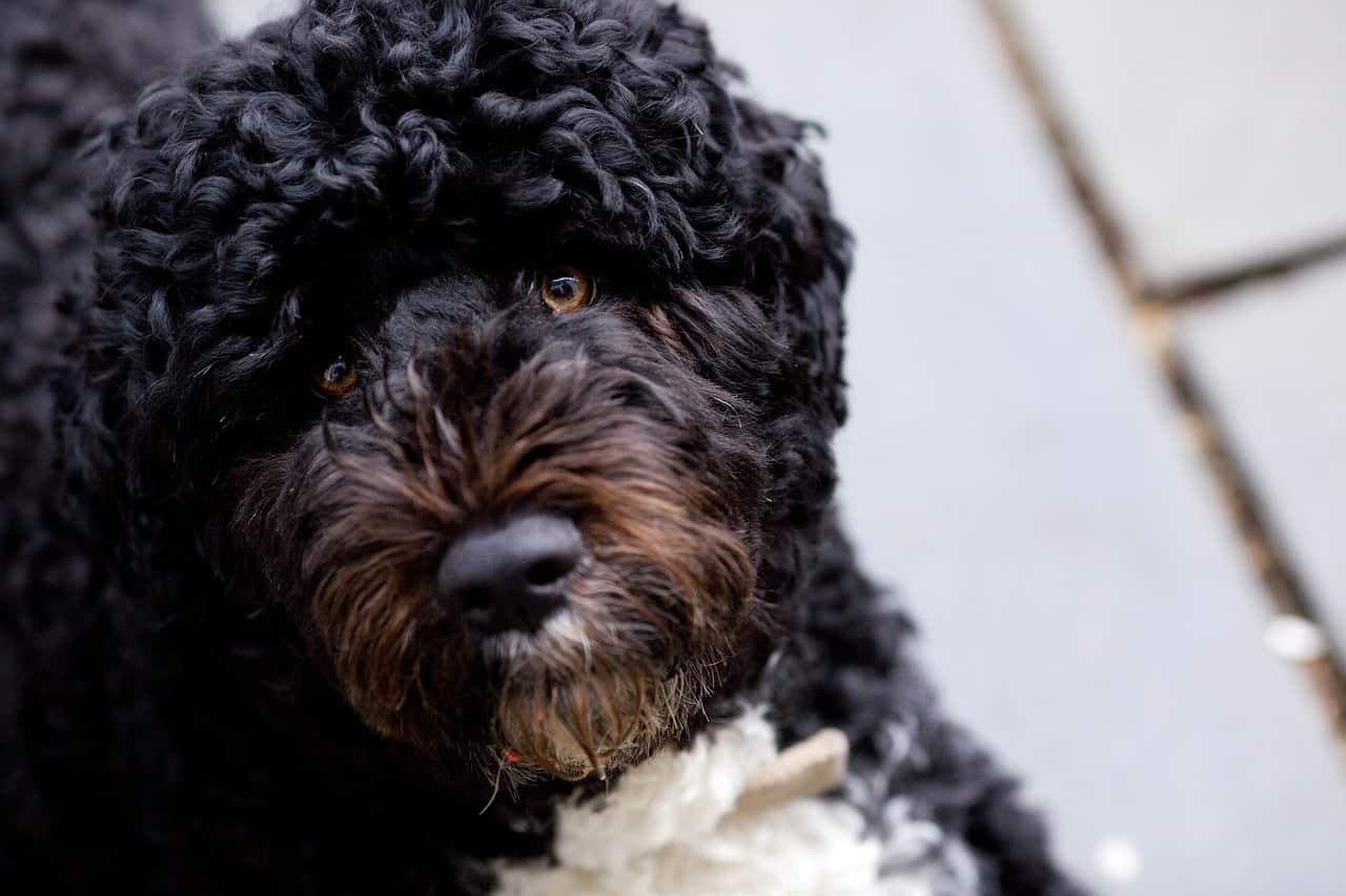 closeup of Portuguese Water Dog