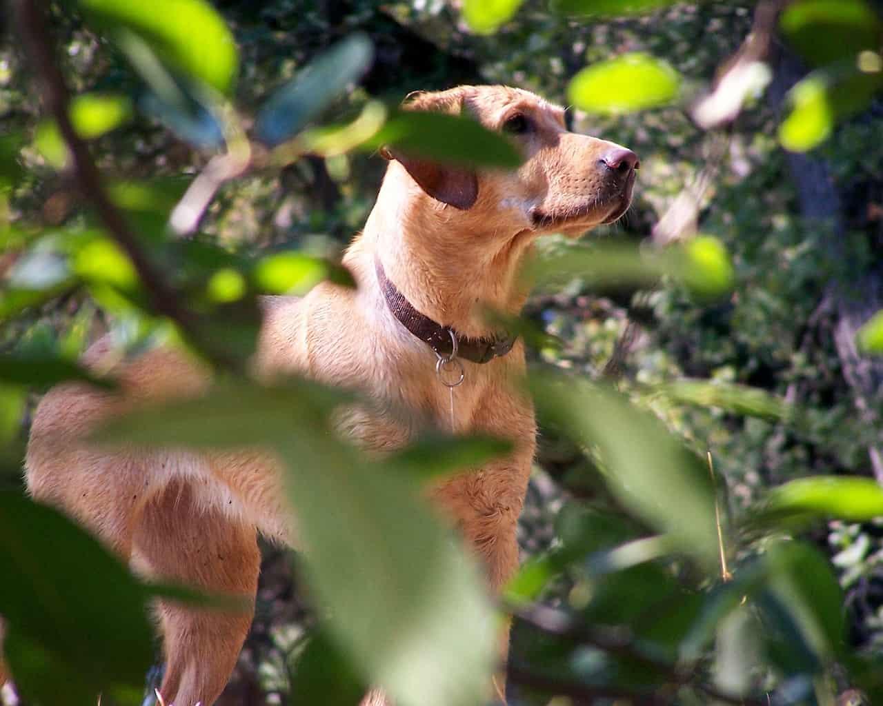 English Labrador Vs American Labrador: Are They Different?