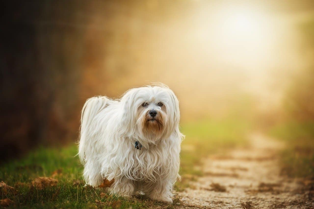 havanese in the forest at sunset