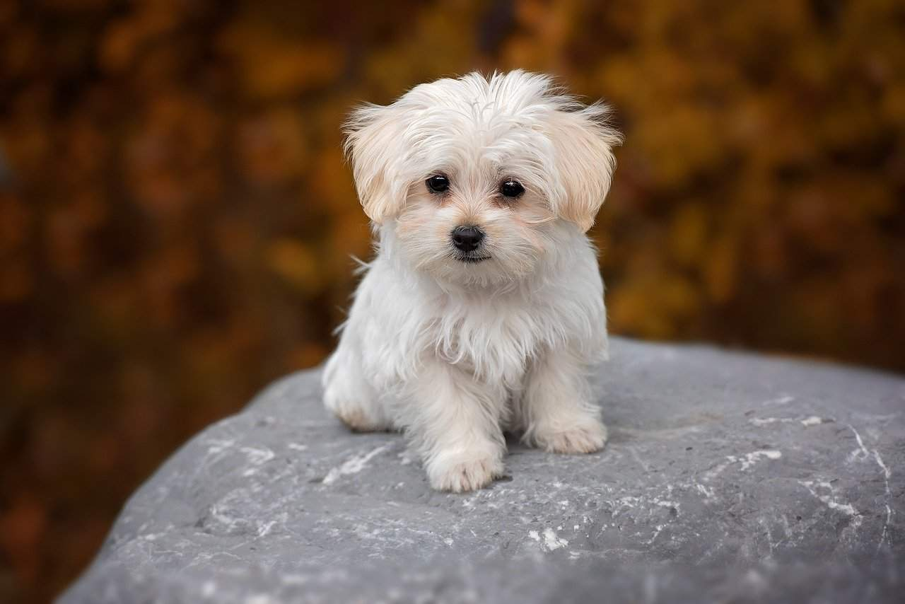 maltese puppy on a rock