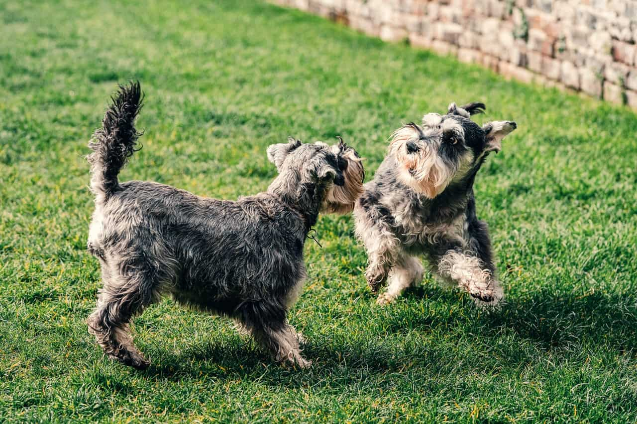 miniature schnauzers playing together