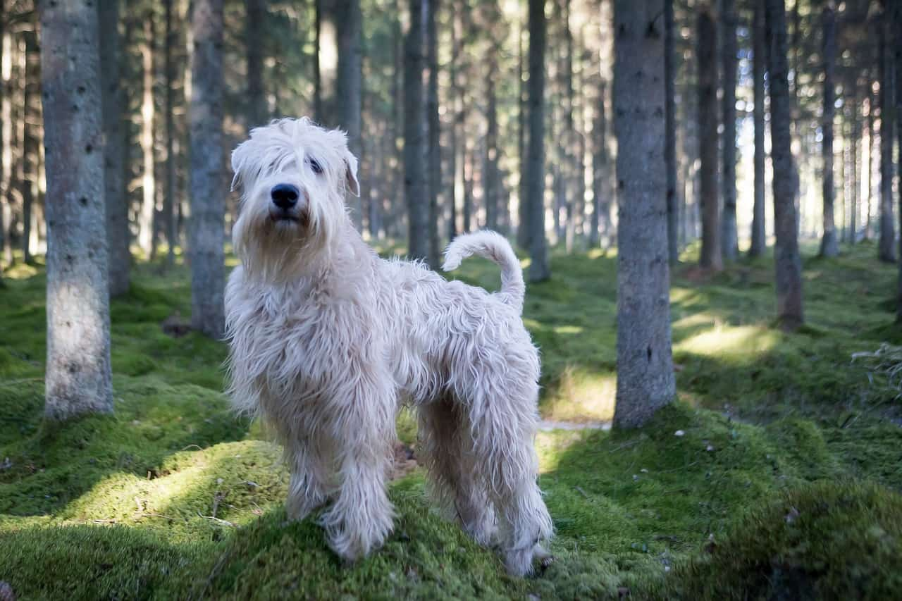 soft coated wheaten terrier in a forest