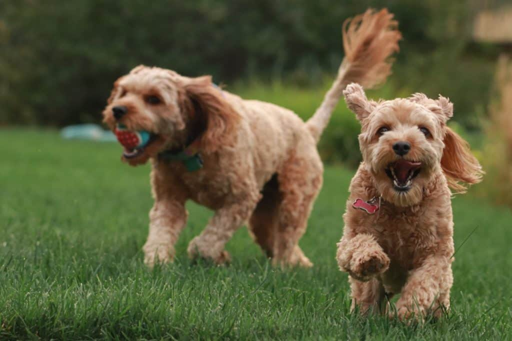 two Cavapoos running in a grass field