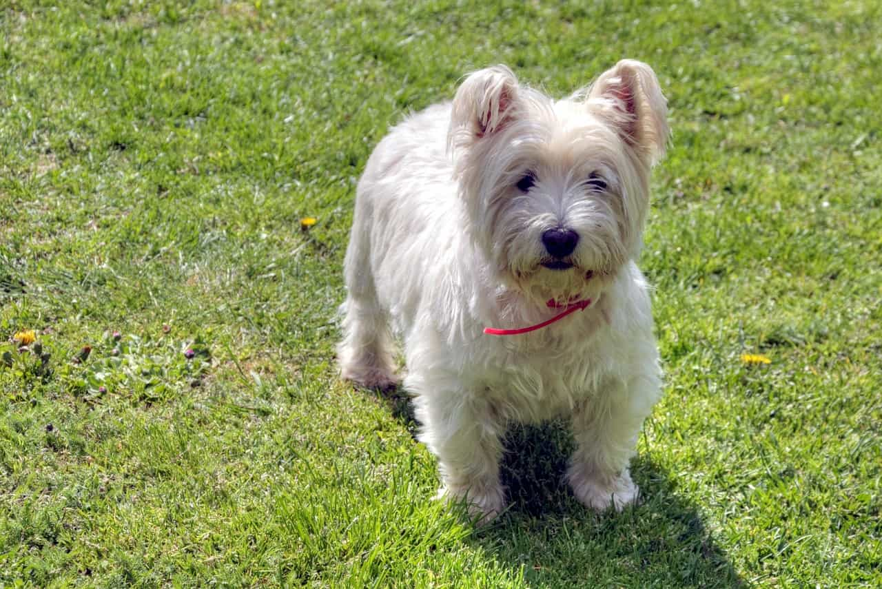 west highland terrier in grass