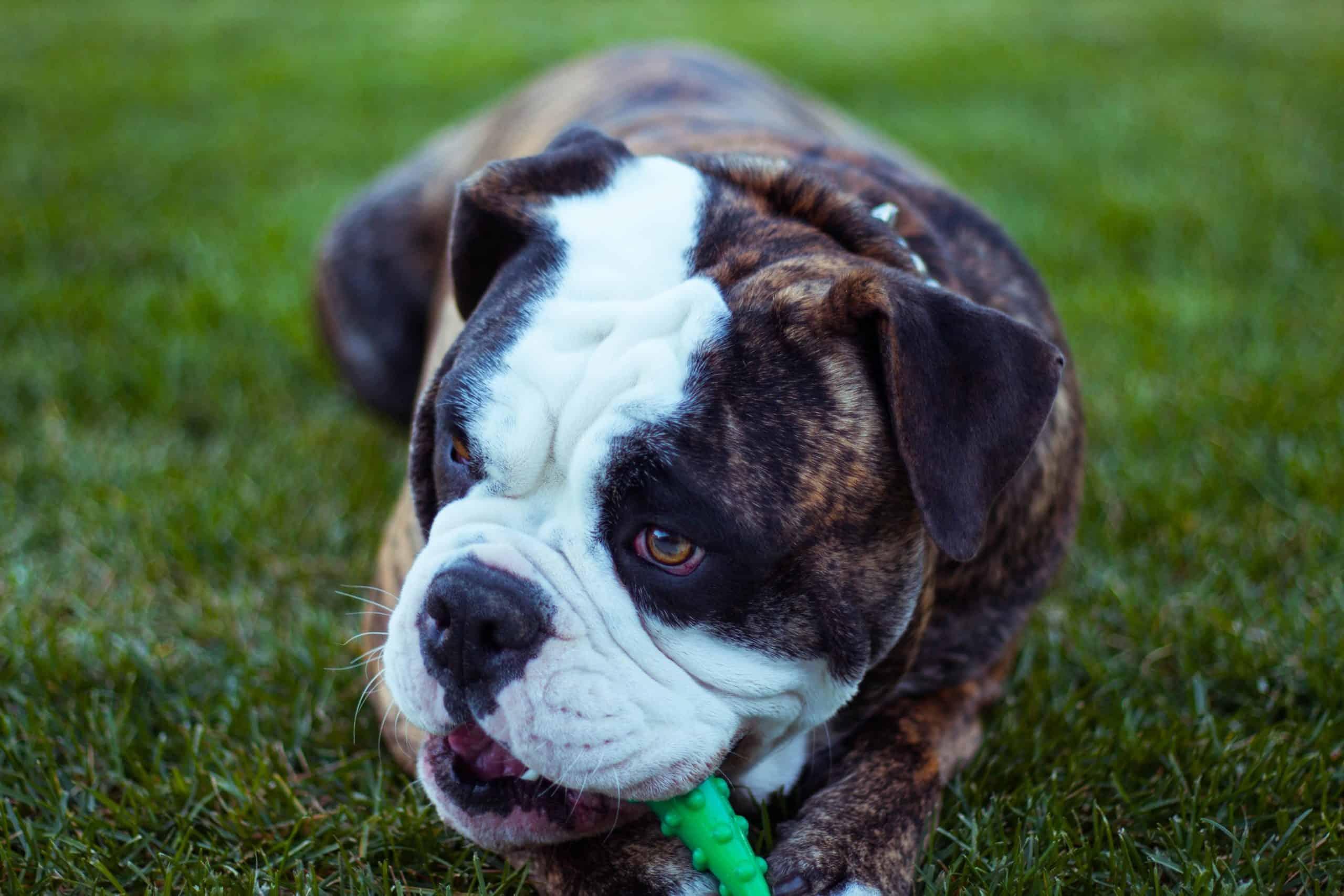 Olde English Bulldogge chewing a bone in grass