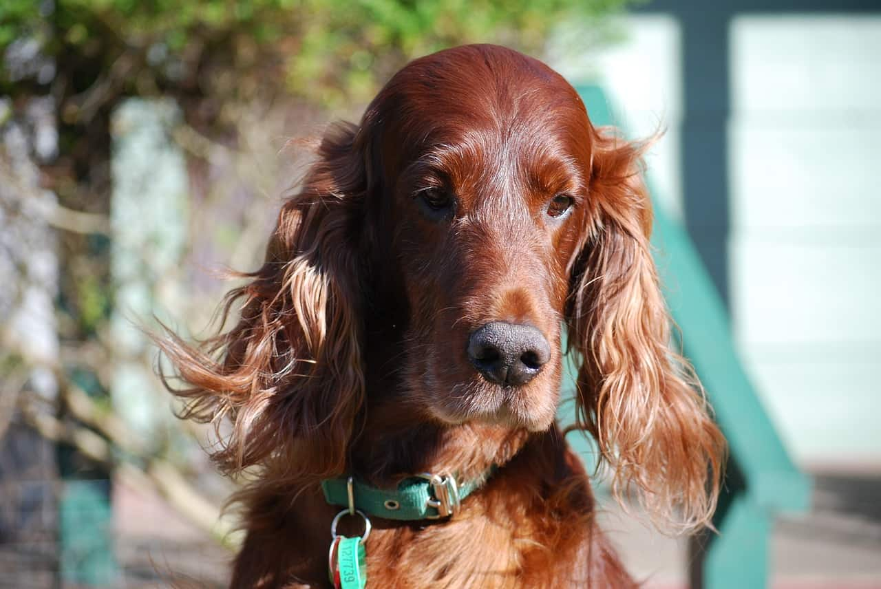 Red Irish Setter Close Up picture