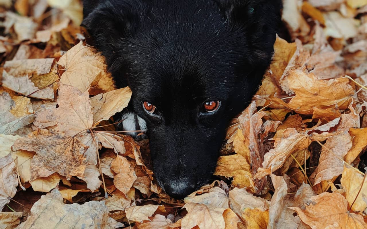 Schipperke laying in leaves