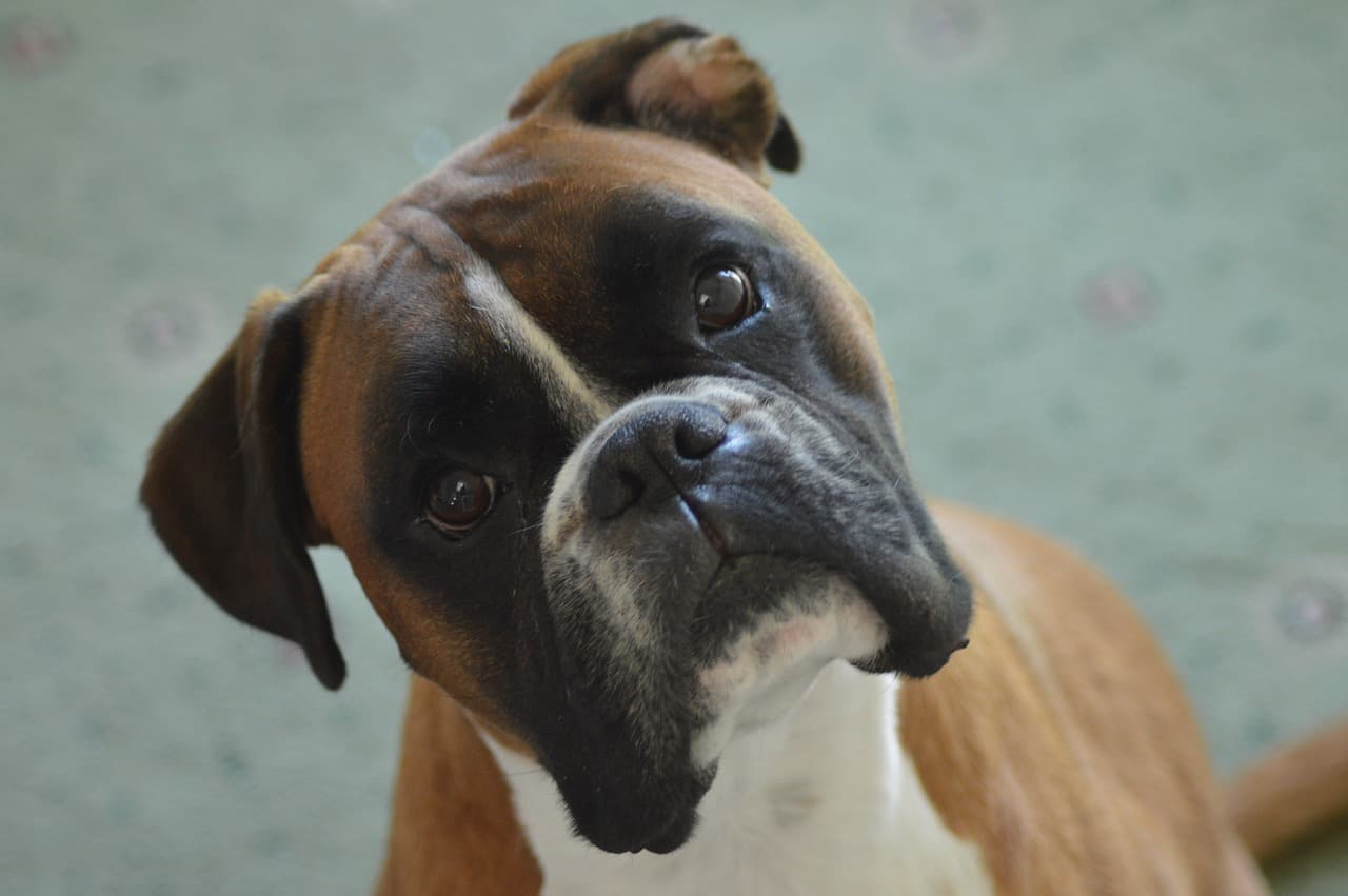 a boxer dog turning their head
