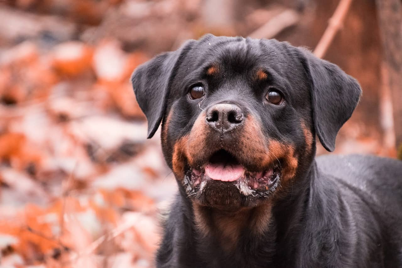Are Rottweilers Good Dogs?