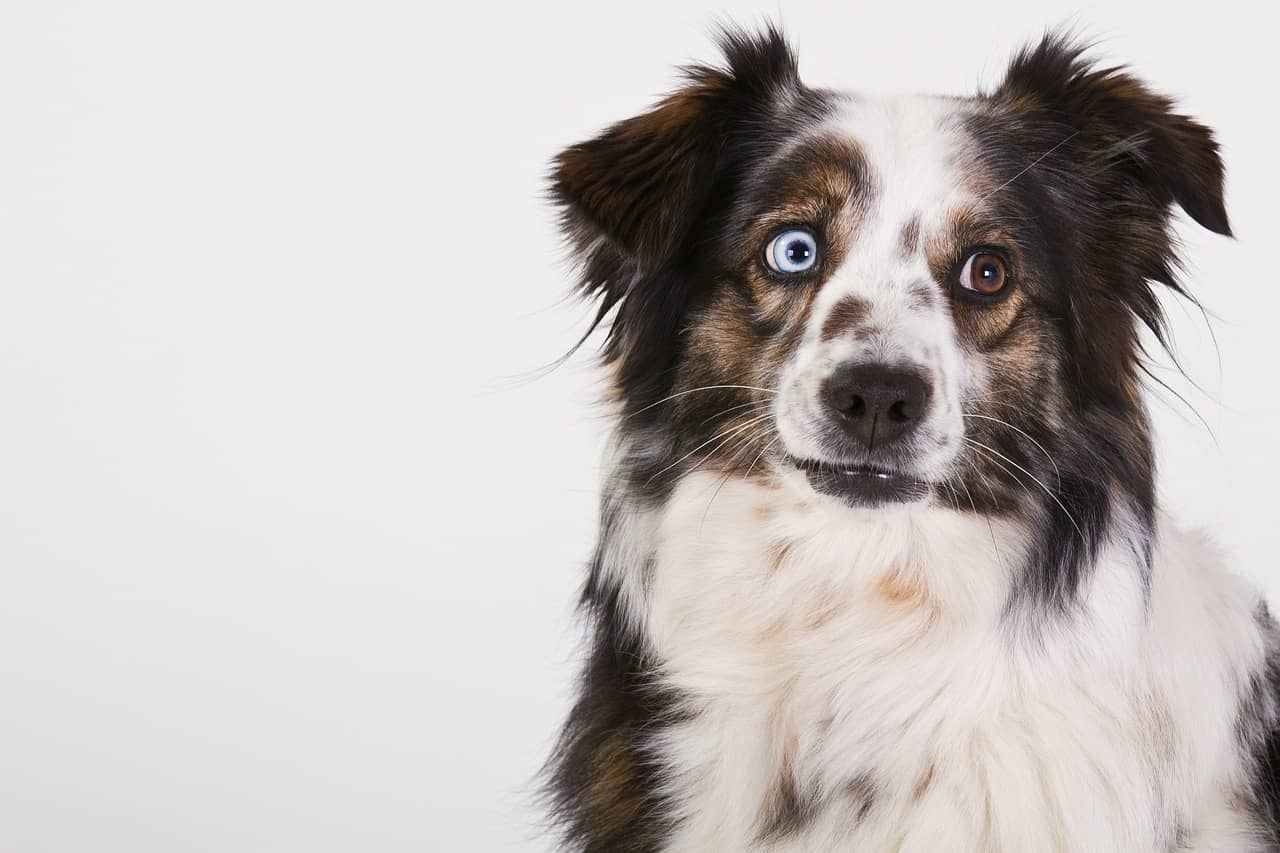 Australian shepherd standing in front of a white background