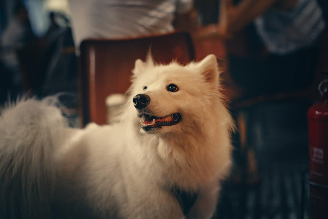 bright white samoyed indoors