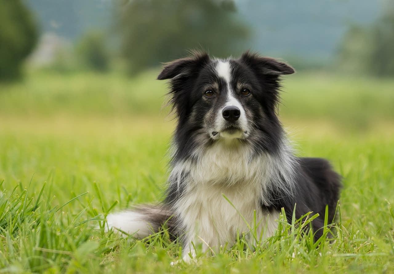 Fantastic Dogs Like Border Collies
