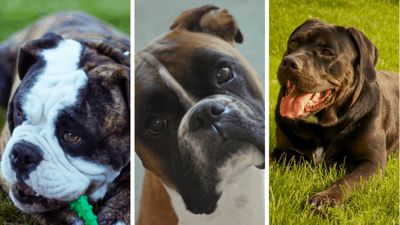 5 Dogs Like Bulldogs In 2020