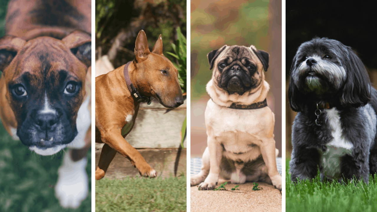 5 Great Dogs Like French Bulldogs In 2020