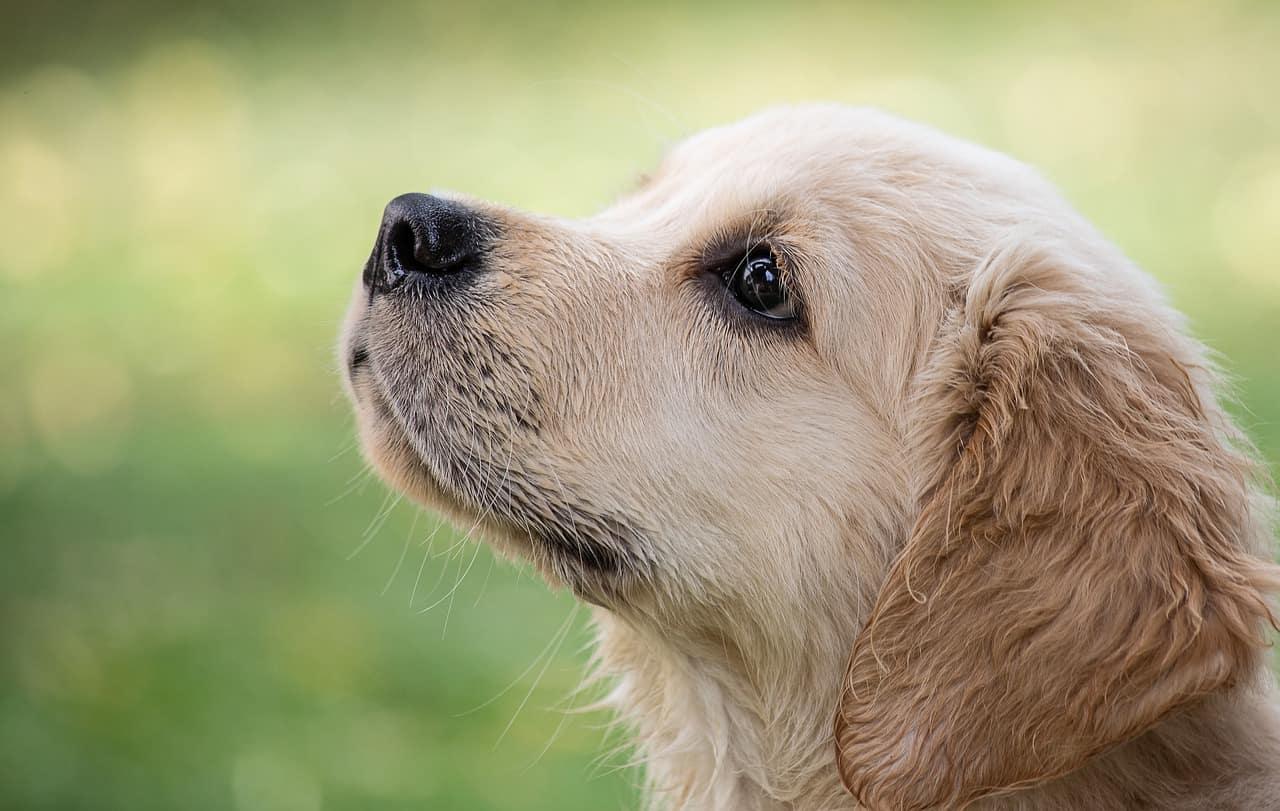 Dogs Like Golden Retrievers