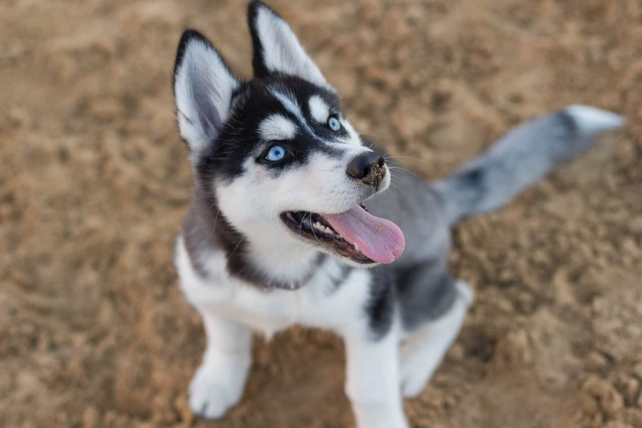 100+ Perfect Husky Dog Names