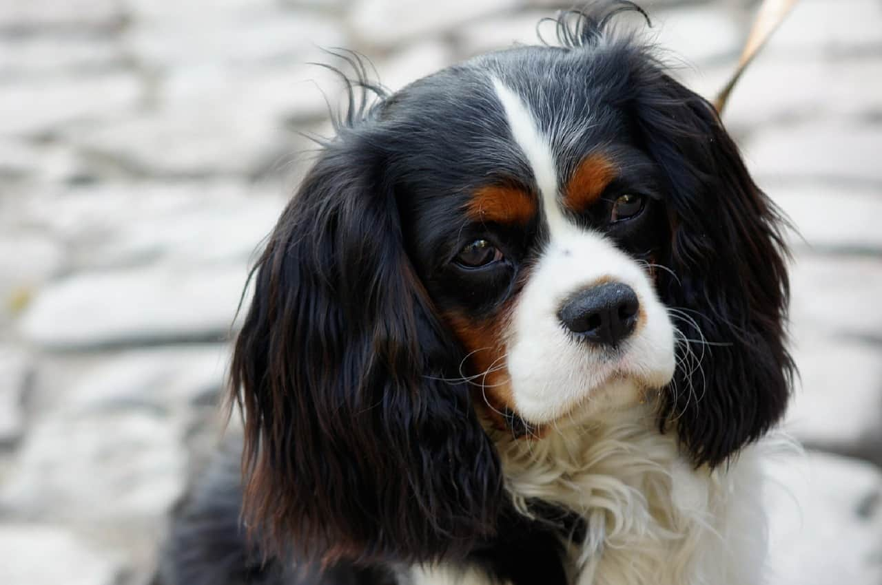 king charles spaniel standing in front of a stone wall