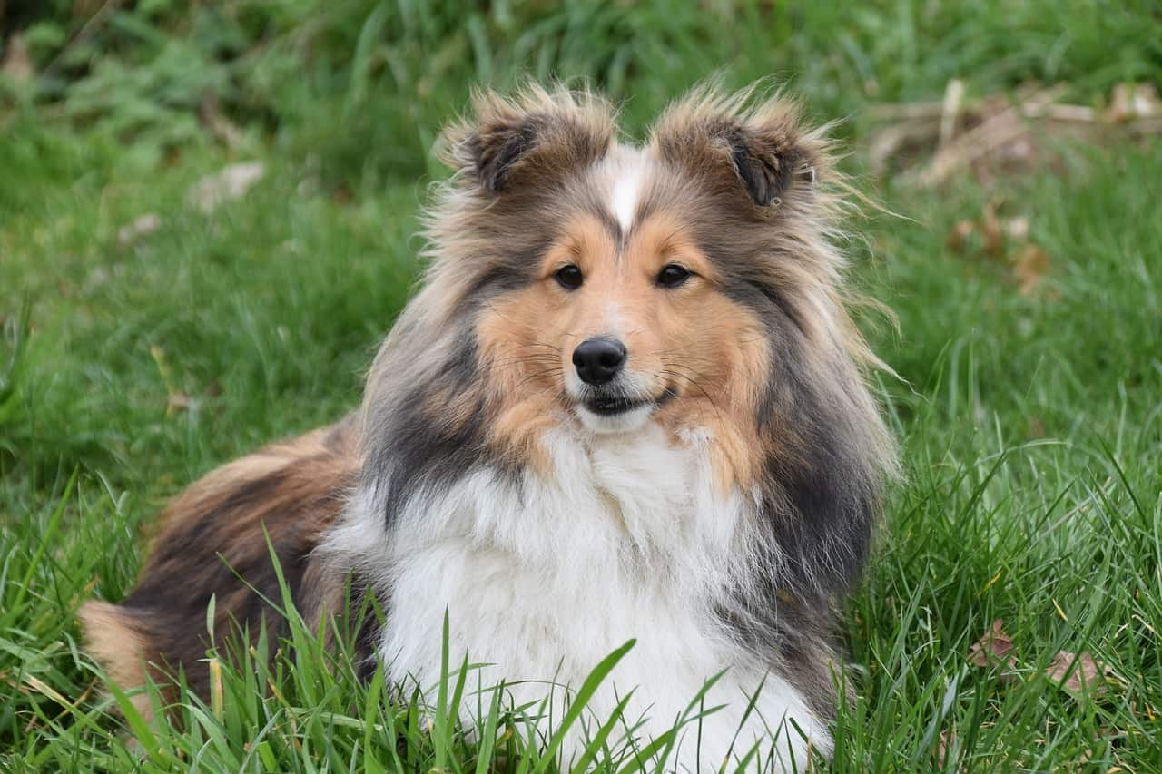 Shetland sheepdog laying in grass