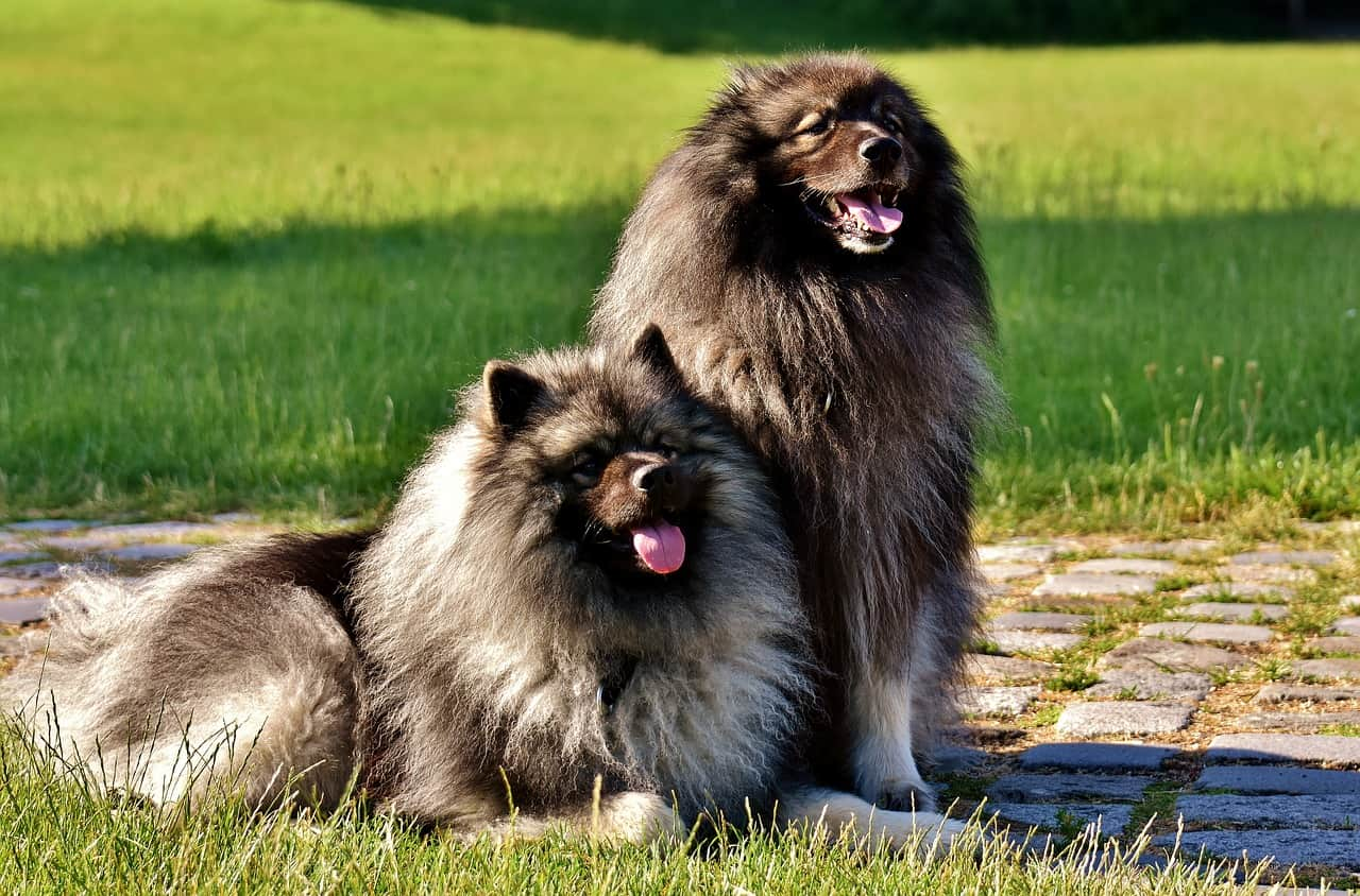 two keeshond sitting in a park