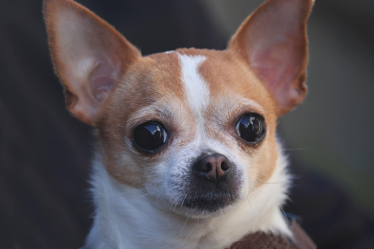 Are Chihuahuas Hypoallergenic? The Answer Is Surprising