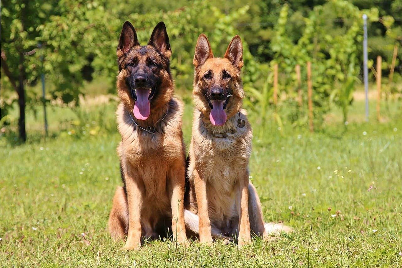 Are German Shepherds Good Family Dogs?
