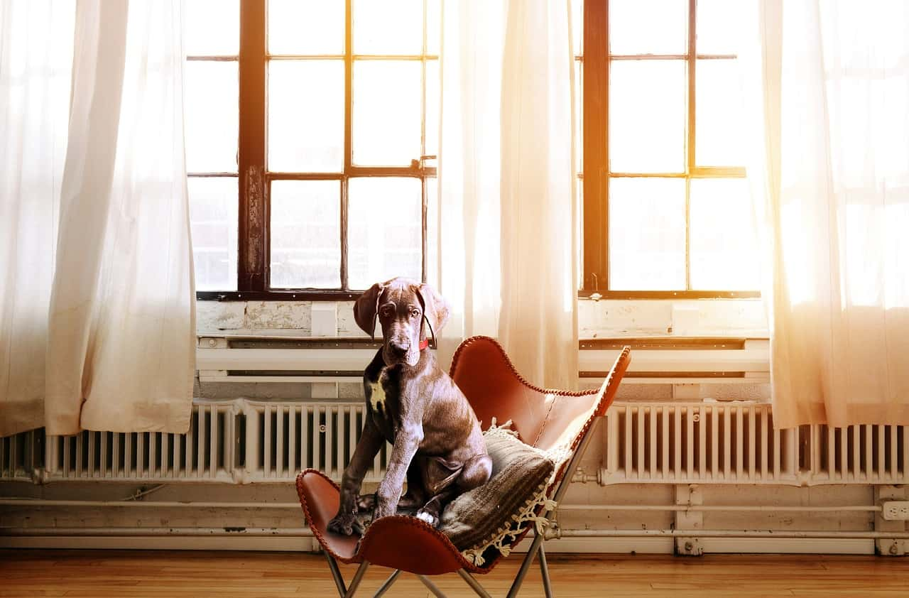 Are Great Danes Good Apartment Dogs?