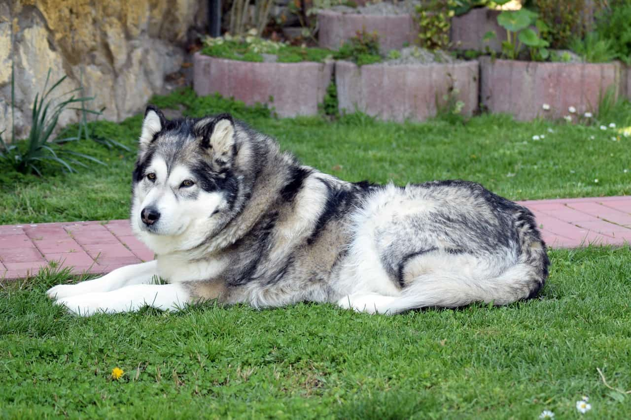 How Much Are Alaskan Malamutes?