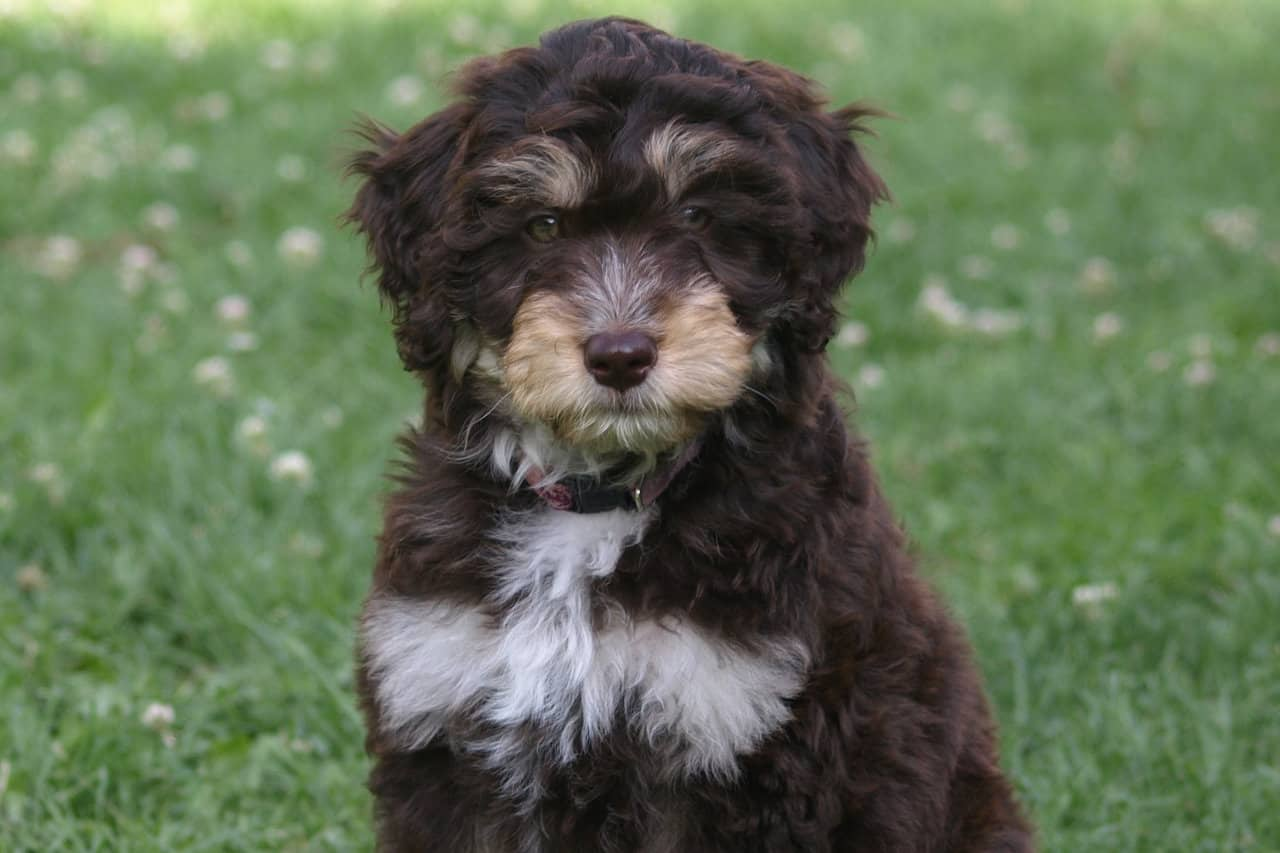 a closeup picture of a young Aussiedoodle sitting in grass