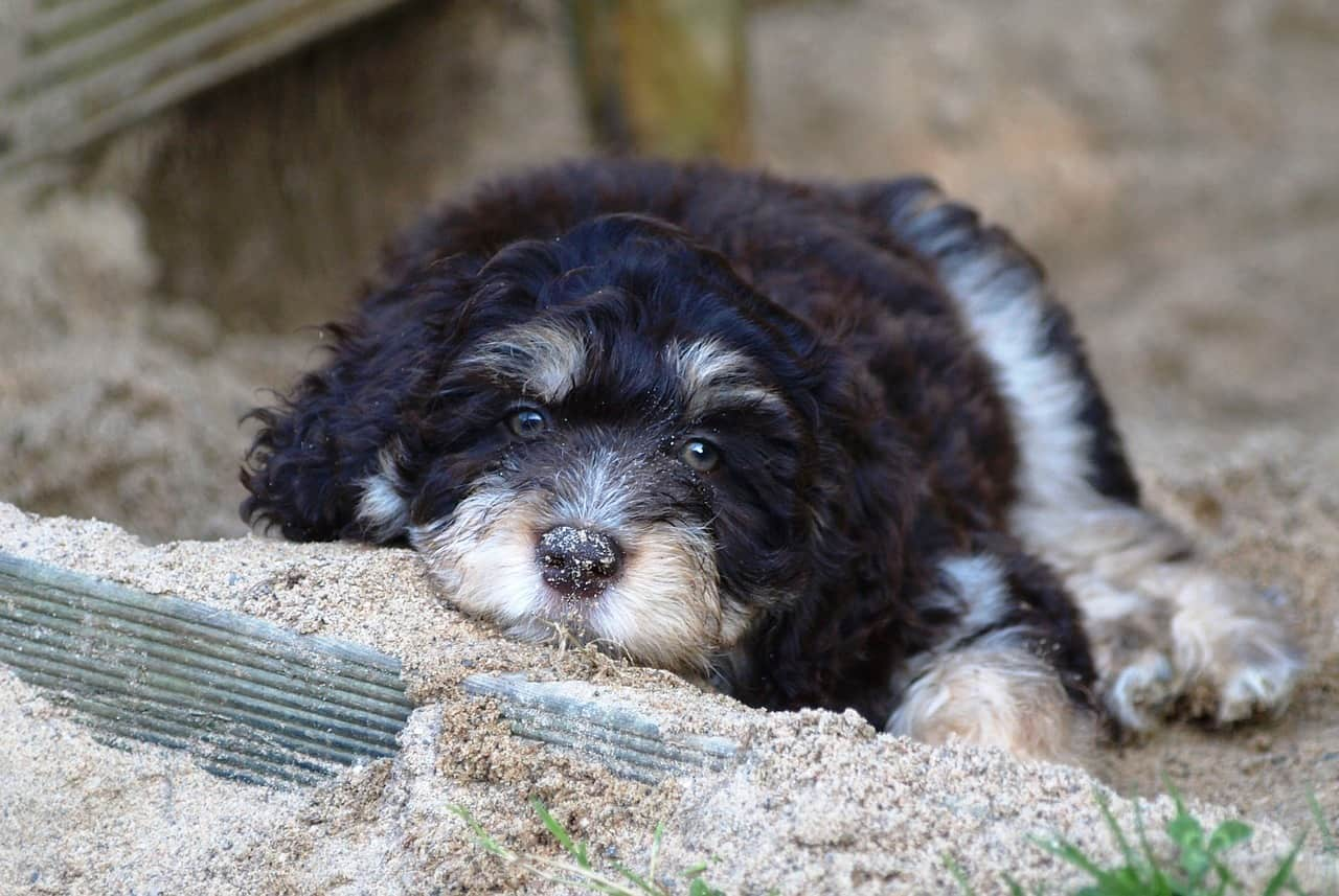 an Aussiedoodle laying in dirt