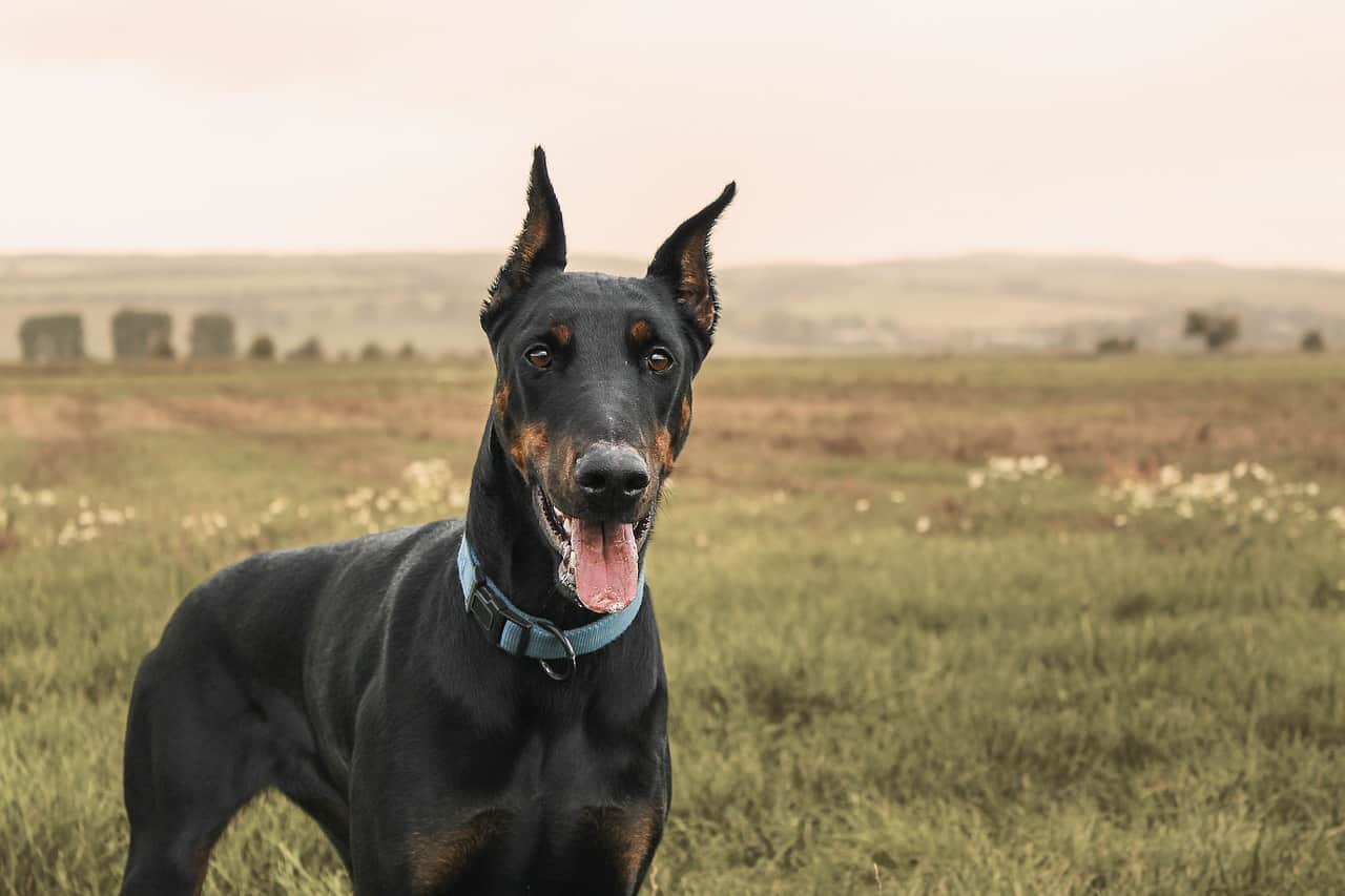 Are Dobermans Easy To Train?