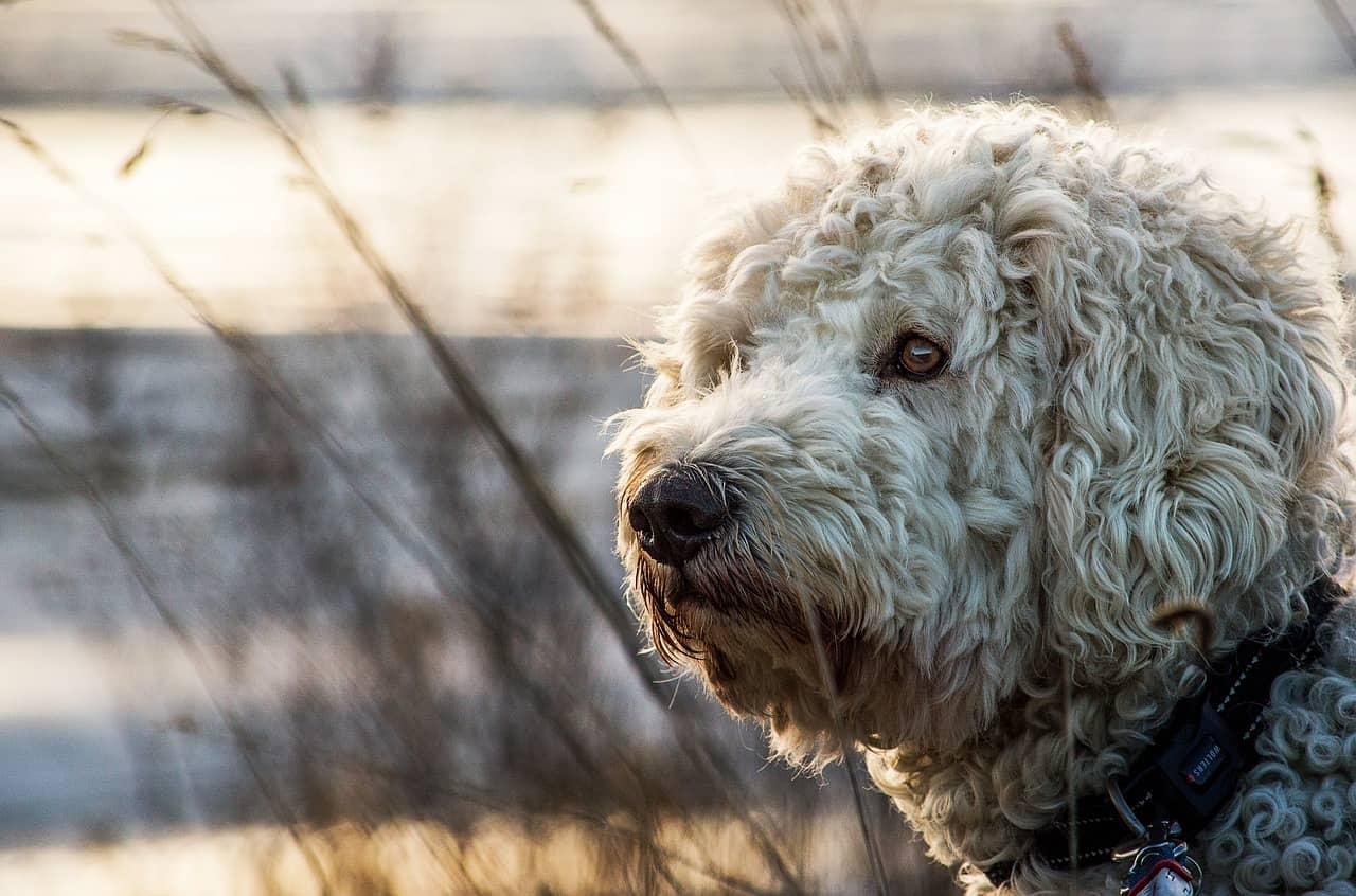 Are Goldendoodles Hypoallergenic?