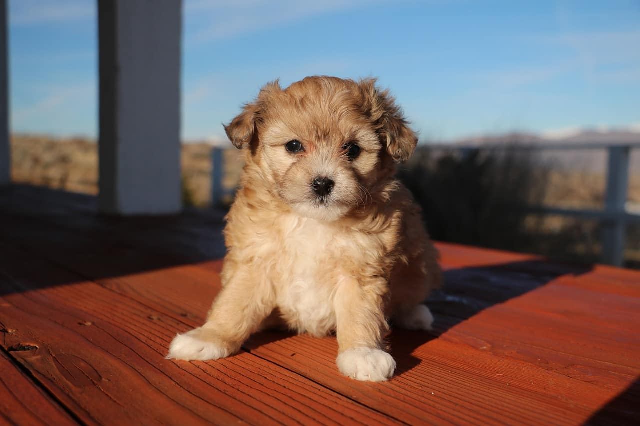 Aussiedoodle Breed Information: All The Info You NEED