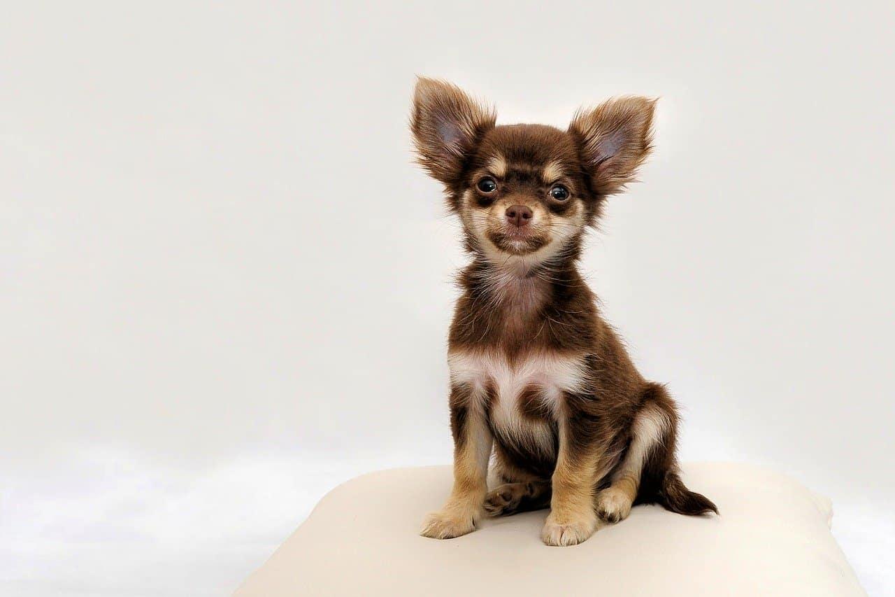 Are Chihuahuas Easy To Train?
