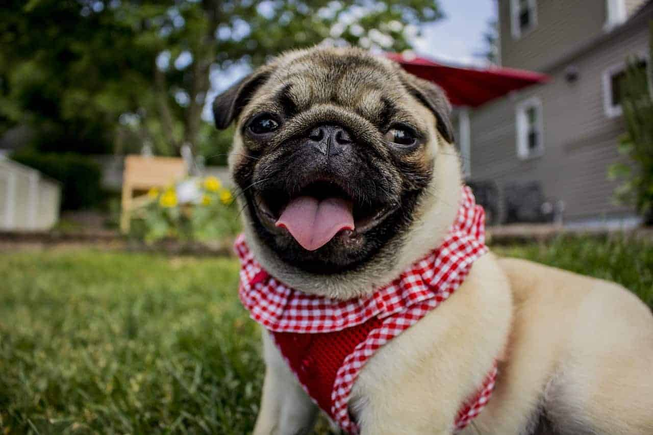 Are Pugs Hypoallergenic?