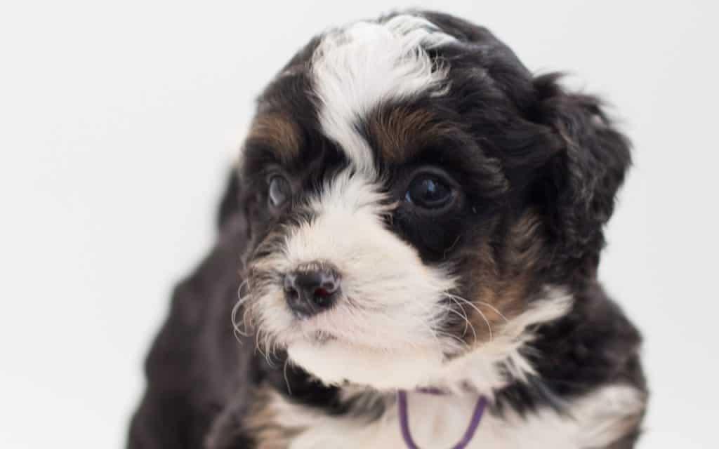 Bernedoodle Puppy 1