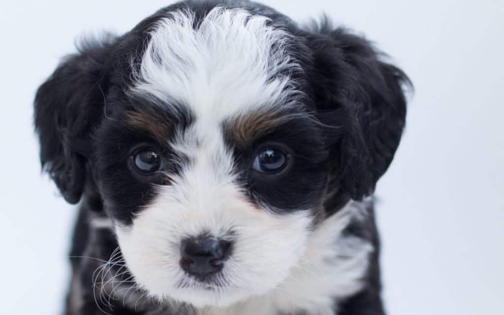 Bernedoodle Puppy 2