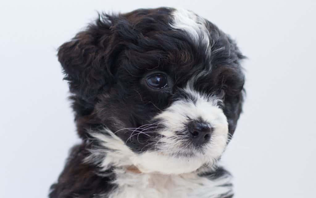 Bernedoodle Puppy 3
