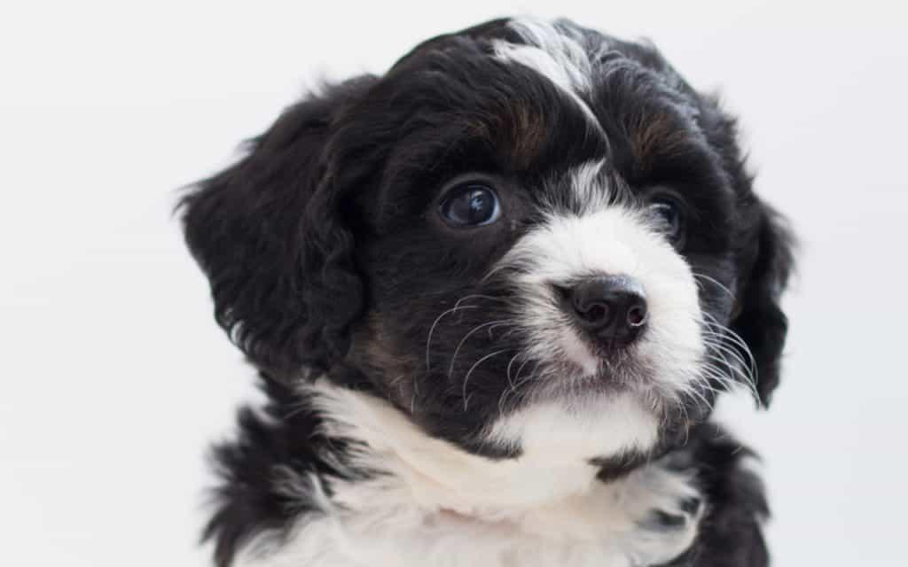 Bernedoodle Puppy 4