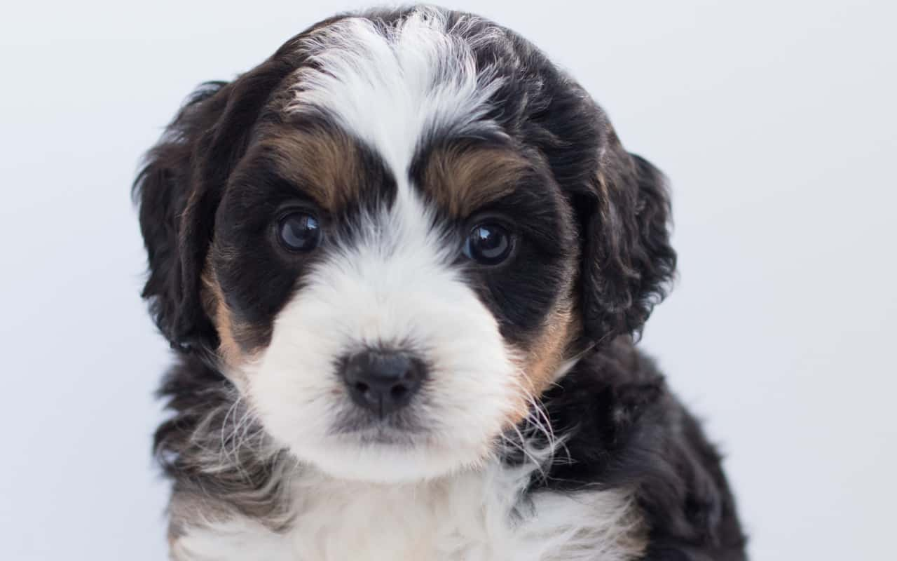 Bernedoodle Breed Information: 10+ Important Things You Need To Know