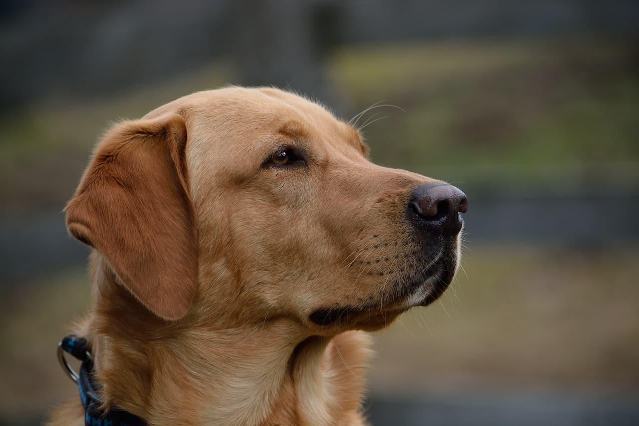 Golden English Labrador closeup picture