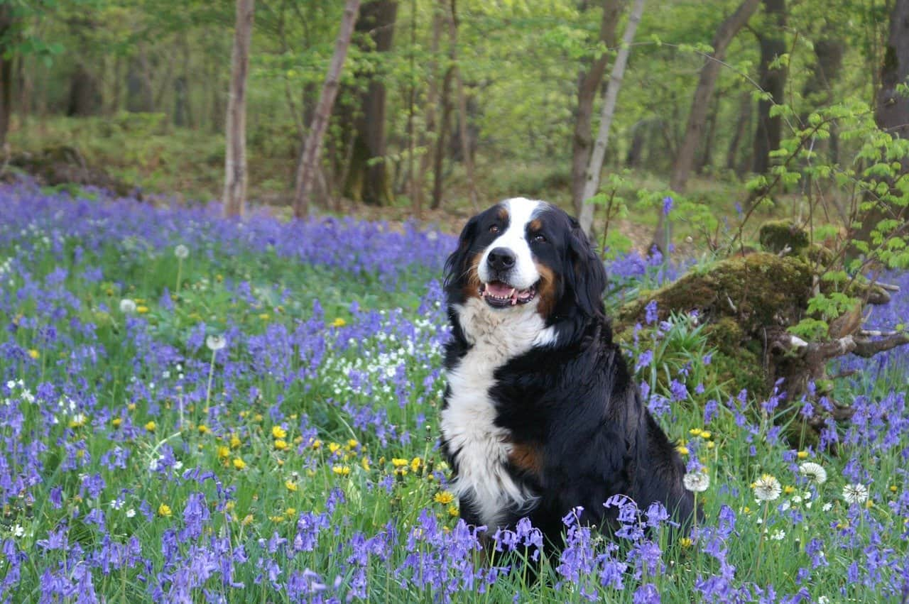 a bernese mountain dog in a flower field and grass