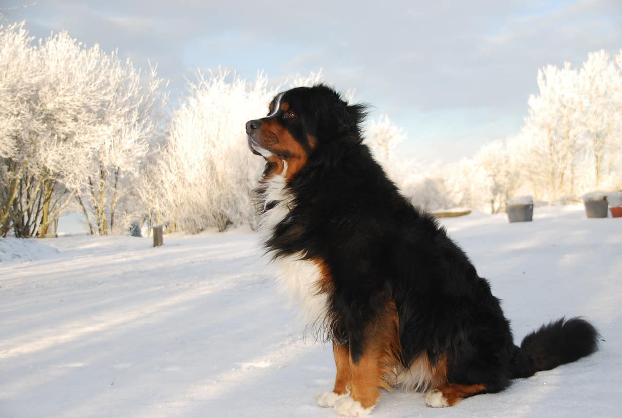 a bernese mountain dog standing in snow
