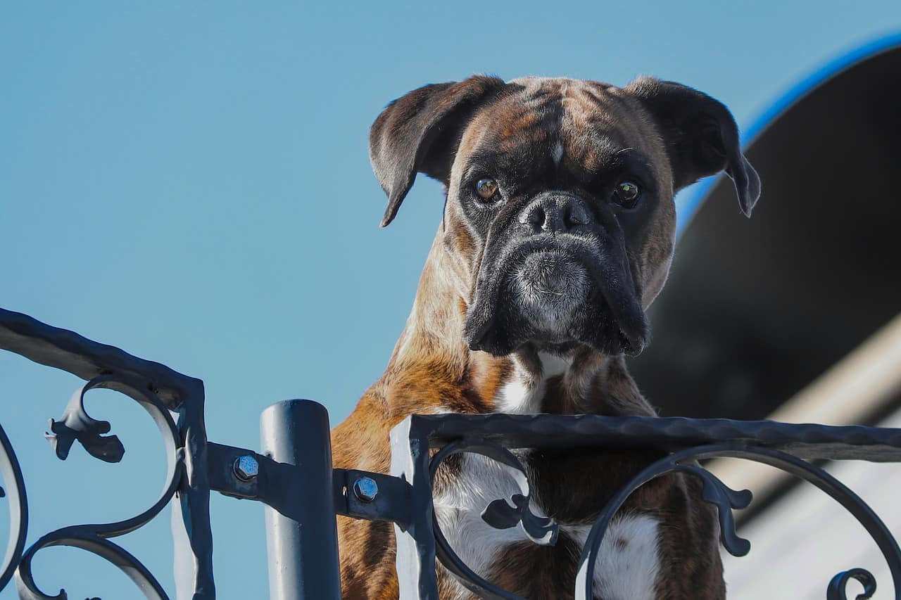 a boxer dog jumping on a fence with an angry expression