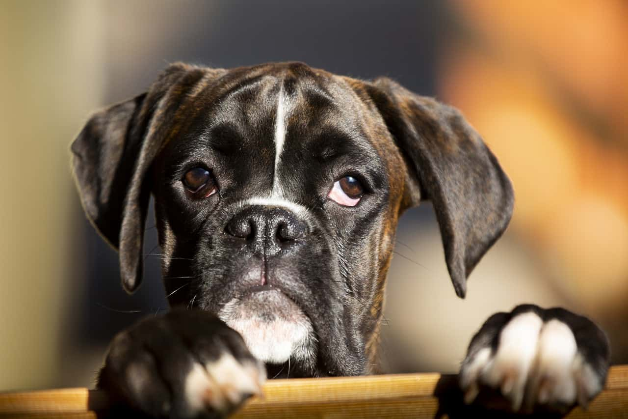 a brindle boxer dog puppy closeup image