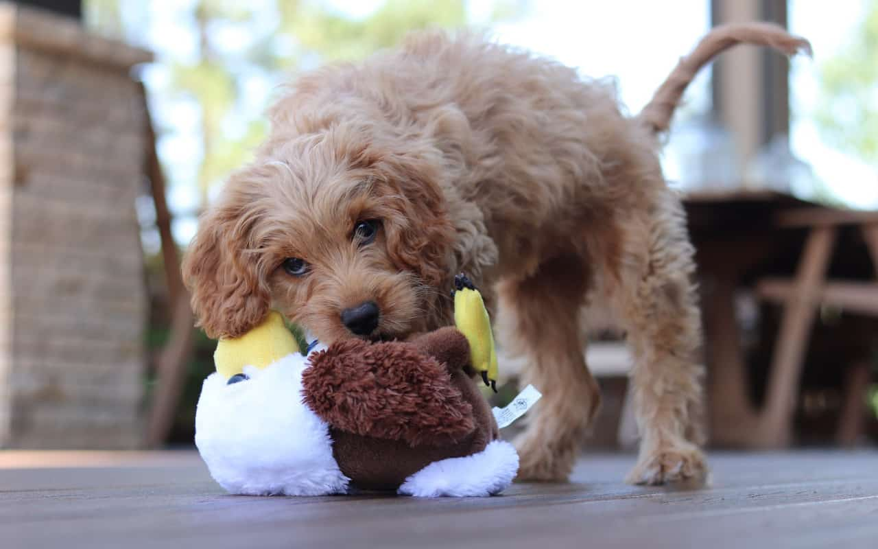 a cavapoo chewing on a plush dog toy on the porch