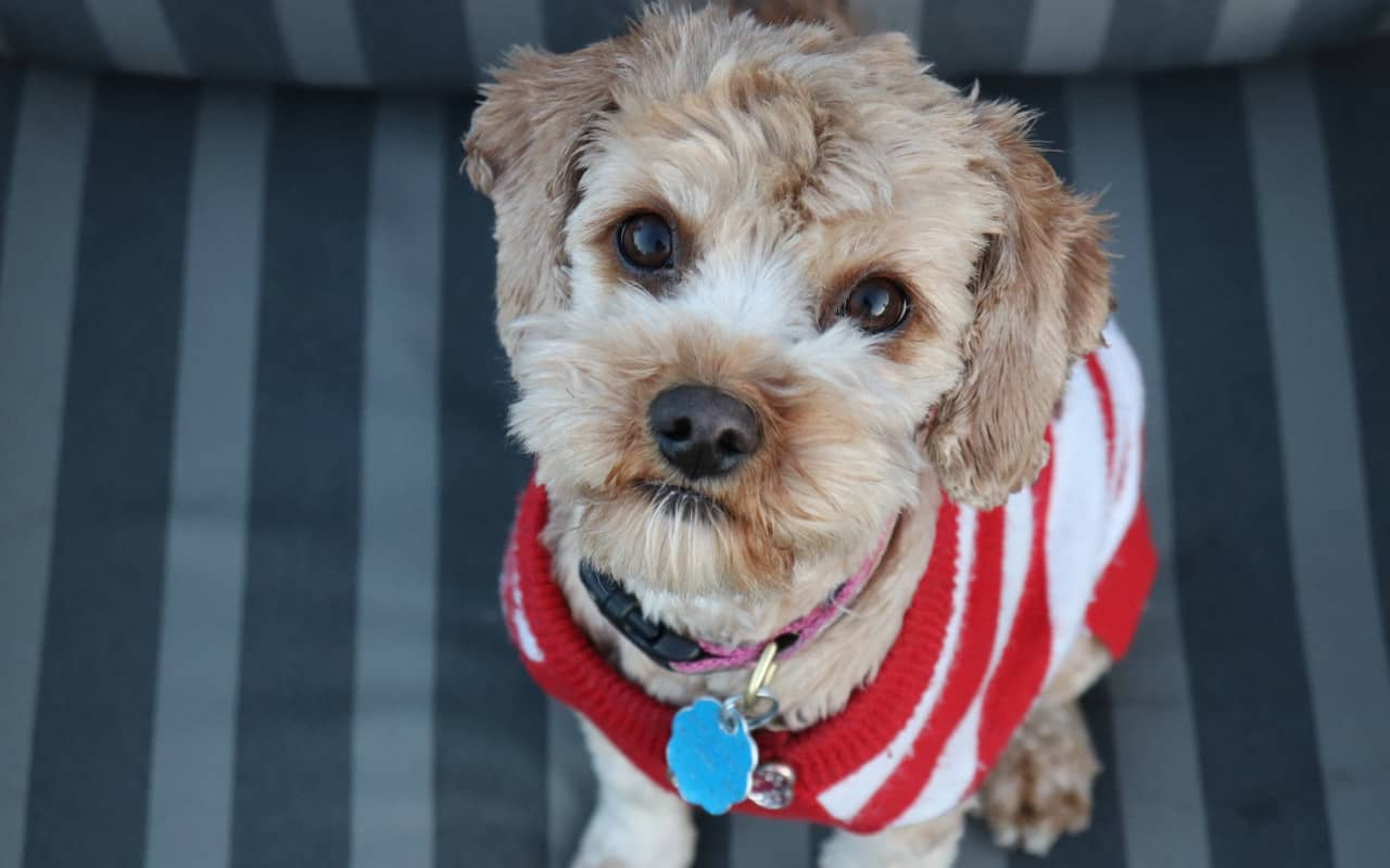 a cavapoo wearing a red and white sweater